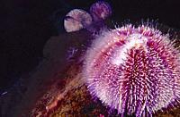 Edible sea urchin (Echinus esculentus) releasing gametes. Eastern Atlantic. Galicia. Spain. Europe.