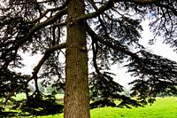 England, Buckinghamshire, Stowe, Stowe Landscape Gardens, Cedar of Lebanon Tree