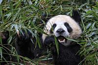 Close up of a Giant Panda (Ailuropoda melanoleuca) in Chengdu - Sichuan, China.
