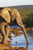 African bush elephant (Loxodonta africana), adult male, drinking at a waterhole, evening light, Addo Elephant National Park, Eastern Cape, South Afric...