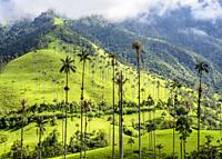 Wax Palms (Ceroxylon quindiuense), Cocora Valley, Salento, Quindio Department, Colombia.