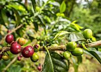 Coffea Cherries, Coffee Triangle, Salento, Quindio Department, Colombia.