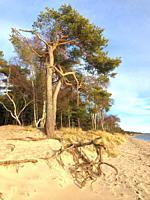 Aerial roots on the beach in Ystad, Sweden, Scandinavia.