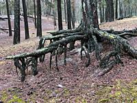 Aerial roots in a pine tree forest, planted to stop a sand drift during the 19th century, Ystad, Sweden, Europe