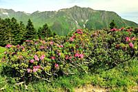 Rhododendron in bloom on the Pyrenees mountains. Cauterets town, Hautes-Pyrénées department , Occitanie region, France.