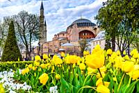 Traditional tulip Festival in Sultanahmet Square with view of Hagia Sophia,Greek orthodox Christian patriarchal basilica (church) on background and co...