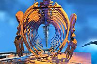 Model of whale bones, Whale Museum, Reykjavik, Iceland.