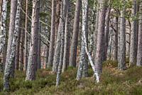 bosque de Rothiemurchus, Loch an Eilein, Parque Nacional de Cairngorms, Highlands, Escocia, Reino Unido.