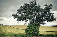 Einzelner Baum in Ackerlandschaft bei Gewitterstimmung. Solitary tree in rural environment in a thundercloud setting.