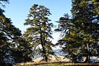 Biosphere Reserve. Natural Park Sierra de las Nieves. Spanish Fir Abies pinsapo. Ronda, Malaga province. Andalusia, Southern Spain. Europe.