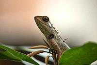 Agama, the Indian chameleon, Maharashtra, India.