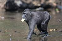 Asia, Indonesia, Celebes, Sulawesi, Tangkoko National Park, Celebes crested macaque or crested black macaque, Sulawesi crested macaque, or the black a...
