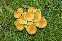 Heap of mushrooms in a wet meadow.