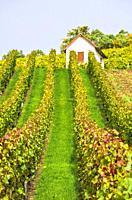 Vineyard in autumn near Kleingartach, in the Heilbronn region of Baden-Wurttemberg, Germany.