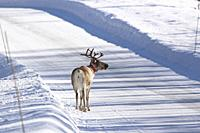 Reindeer standing in the middle of a country road