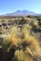 Chile, Antofagasta Region, Atacama Desert, desert; flora, vegetation,.