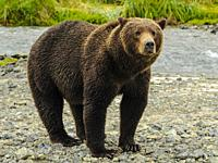 Female Brown Bear Looking Katmai National Park Alasks.