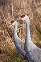 Head and neck details of a Sandhill Crane.