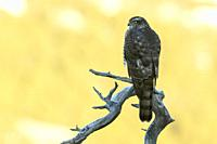 Sparrowhawk (Accipiter nisus) perched on treebranch during sunset, Norway.
