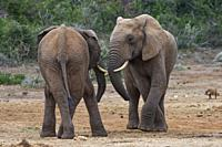 African bush elephants (Loxodonta africana), two males ready to play fighting, face to face, Addo Elephant National Park, Eastern Cape, South Africa, ...