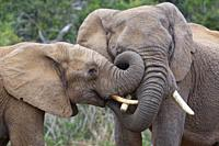 African bush elephants (Loxodonta africana), two males playing fight, Addo Elephant National Park, Eastern Cape, South Africa, Africa.
