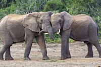 African bush elephants (Loxodonta africana), two adult males playing fight, face to face, Addo Elephant National Park, Eastern Cape, South Africa, Afr...