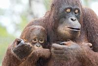 Asia, Indonesia, Borneo, Tanjung Puting National Park, Bornean orangutan (Pongo pygmaeus pygmaeus), Adult female with a baby.