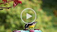 Bananaquit (Coereba flaveola) tanager bird drinking nectar from feeder in Venezuela, South America. The country hosts a total of 1, 417 bird species. ...