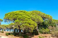 Pine trees in the park Aurelien, Frejus, Var, Provence-Alpes-Cote d`Azur, France, Europe.