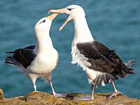 Black-browed albatross or black-browed mollymawk (Thalassarche melanophris), typical courtship and greeting behaviour. South America, Falkland Islands...