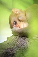 Rhesus Monkey (Macaca mulatta) resting in tree. Keoladeo National Park. Bharatpur. Rajasthan. India.