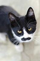 Black and white kitten looking up at camera.