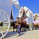 Pilgrimage Virgen del Rocio - ox carts. Huelva province. Region of Andalusia. Spain. Europe.
