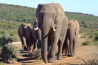 African bush elephants (Loxodonta africana), herd walking on a dirt path, male elephant in the lead, Addo Elephant National Park, Eastern Cape, South ...