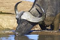 African buffalo (Syncerus caffer), adult male, drinking at a waterhole, Addo Elephant National Park, Eastern Cape, South Africa, Africa.