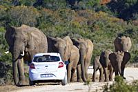 African bush elephants (Loxodonta africana), herd with calves walking, a tourist car stopped on the side of a dirt road, Addo Elephant National Park, ...