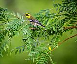 Townsend's warbler (Setophaga townsendi) is a small songbird of the New World warbler family.