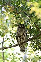 The barred owl (Strix varia), also known as northern barred owl or hoot owl, is a true owl native to eastern North America. Adults are large, and are ...