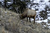 Bull elk (Cervus canadensis) grow antlers for the fall mating season and keep them through the winter, they fall off for the new yearâ. . s growth.