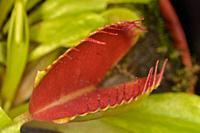 Venus flytrap, Carnivorous plant (Dionaea)