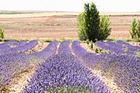 Lavender plantation in El Pobo Teruel Aragon Spain.