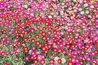 Meteor Red Daisies and Pink Daisies field, Liguria, Italy, Europe.