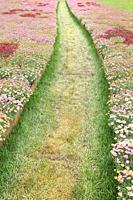 Path cutting through blooming flowers, Liguria, Italy,.
