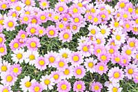 White Daisies and Pink Daisies in full bloom, Liguria, Italy.