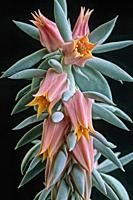 Aeonium inflorescence. Québec, Canada.