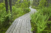 Wooden boardwalk crossing conifer forest with ferns, Johnville Bog and Forest Park; Québec; Canada.