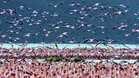 Lesser Flamingos in mass at lake Bogoria, Kenya.