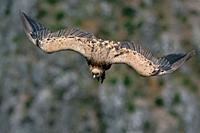 Griffon Vulture (Gyps fulvus), Crete, Greece.