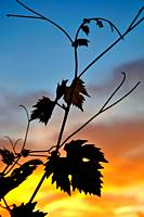 Vine leaves in sunset in France.
