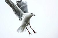 Cape gull (Larus dominicanus vetula) in flight, South Africa. High-key lighting.